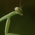 Praying Mantis by Angi Baker
