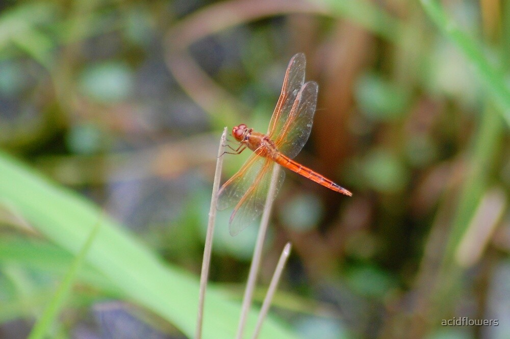 Orange Dragonfly by acidflowers
