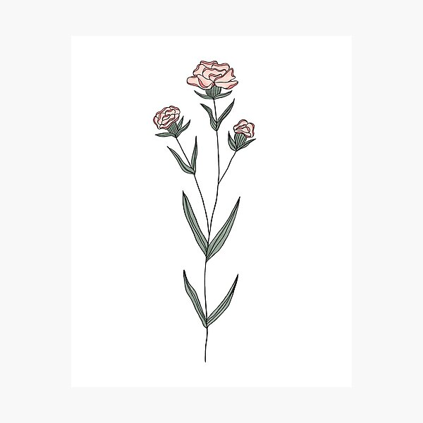 January Birth Month Flower   Carnation   Color Photographic Print