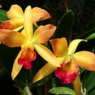Yellow and Red Orchid Trio by Ron Russell