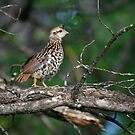 """  Fledgling Ruffed Grouse  "" by fortner"