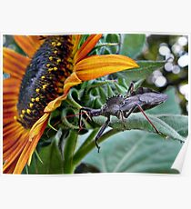Assassin Bug with Sunflower Poster