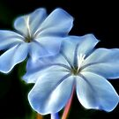 Plumbago by SuddenJim