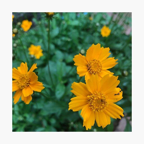 Coreopsis Flower Photographic Print