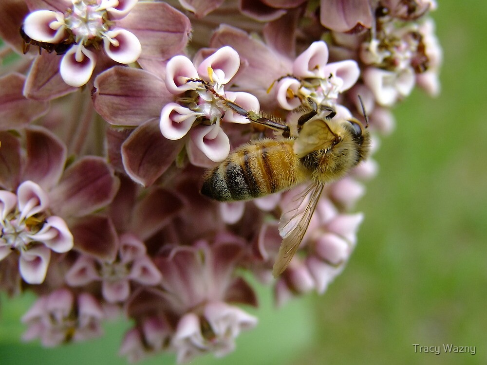 The Bee And The Milkweed by Tracy Wazny