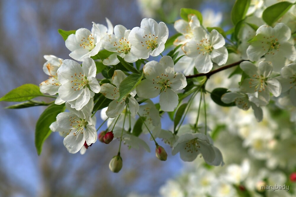 White Spring Blooms 2 by marybedy
