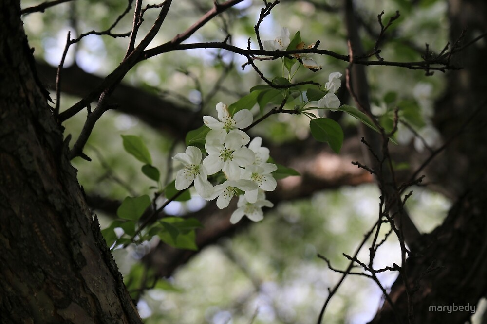 White Spring Blooms by marybedy