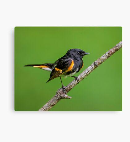 Little Redstart Canvas Print