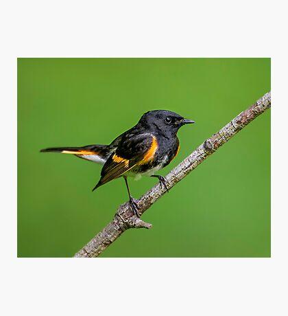 Little Redstart Photographic Print