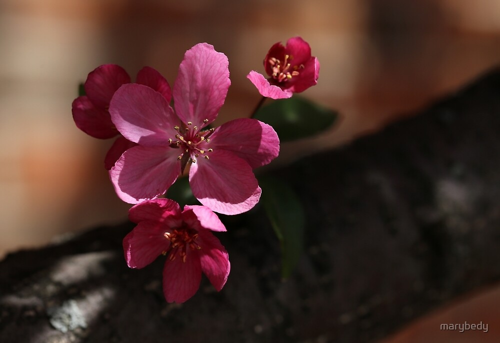 Crabapple Blossoms 5 by marybedy