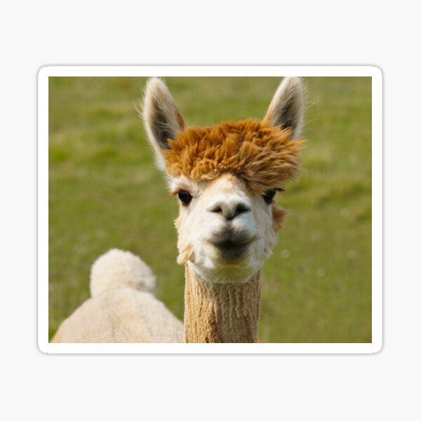 I Love Lucy the Alpaca Sticker
