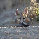 Kit Fox in the Shade by Robbie Knight