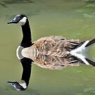 Canada Goose Reflection by Kathy Baccari