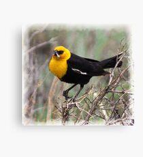Yellow Headed Blackbird Canvas Print