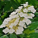 Oakleaf Hydrangea by Scott Mitchell