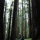 The Redwoods by Jeannie Peters