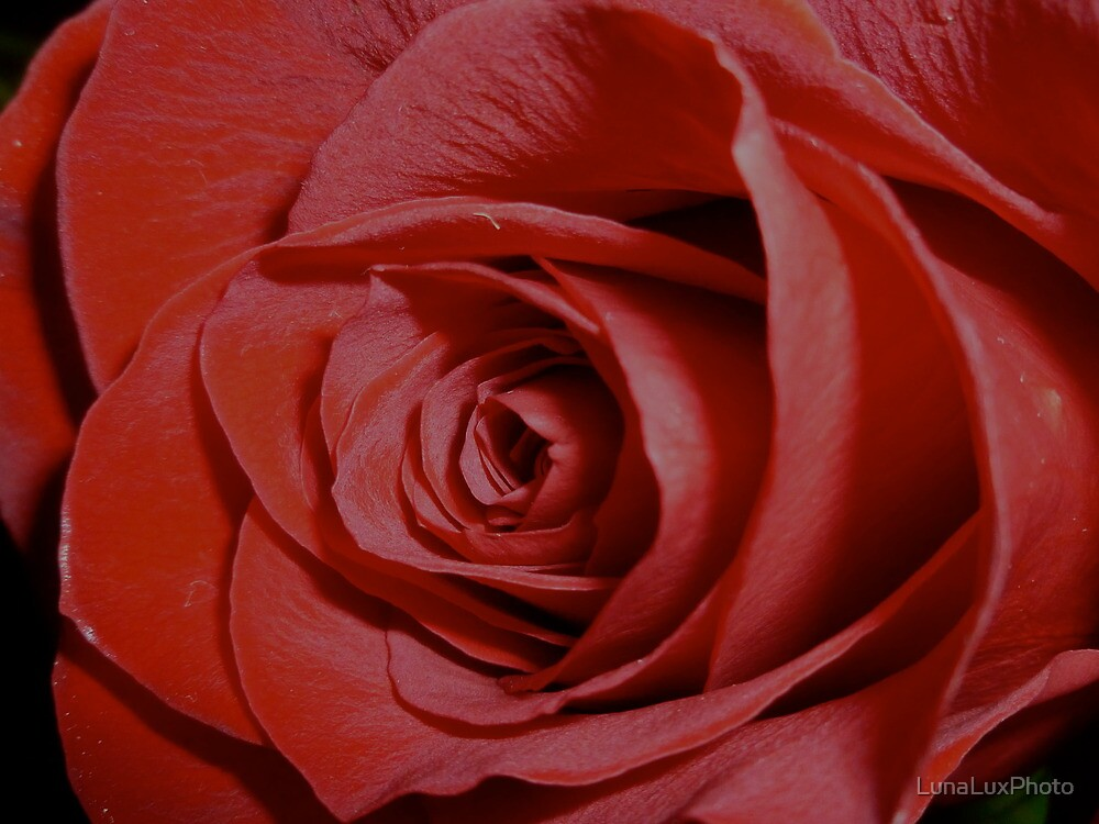 A Rose for You by LunaLuxPhoto