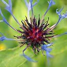 Centaurea cyanus (Cornflower) by Clive