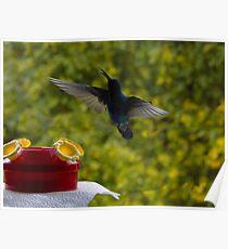 Hummingbird Chirping Poster