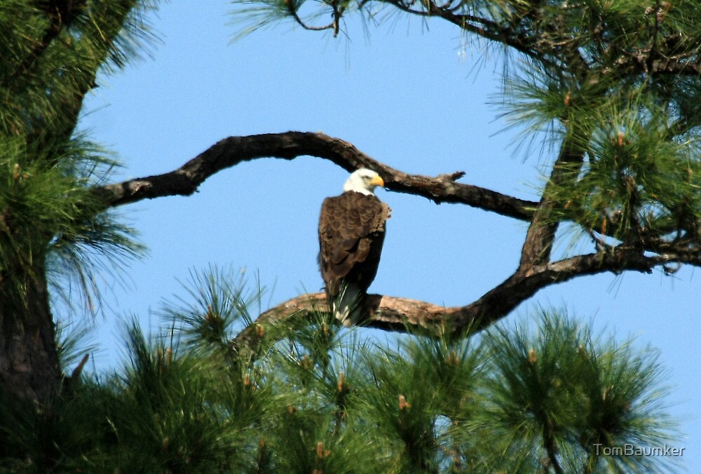 INDRIO BALD EAGLE by TomBaumker