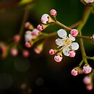 Apple Blossom. Maybe. by Paul-M-W