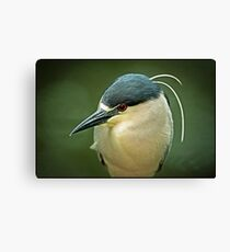 Black Crown Night Heron On The Hunt Canvas Print