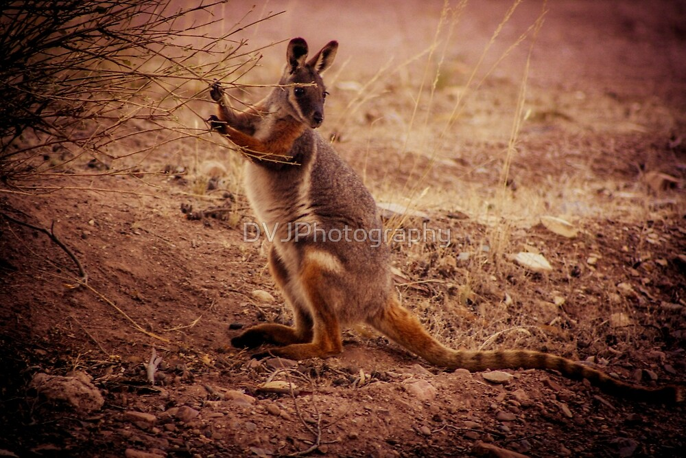 wallaby by DVJPhotography
