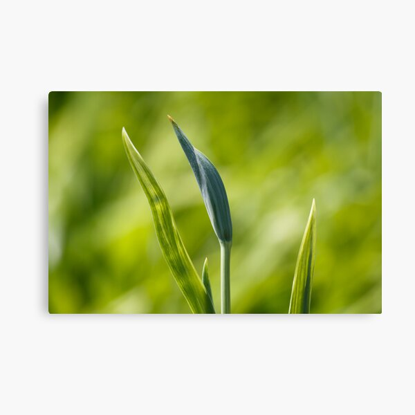 Budding Green Canvas Print
