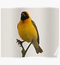 A masked weaver bird Poster