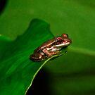 Tree Frog Portrait #1. by chris kusik