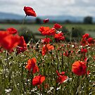 Poppy Field by Matt Sillence