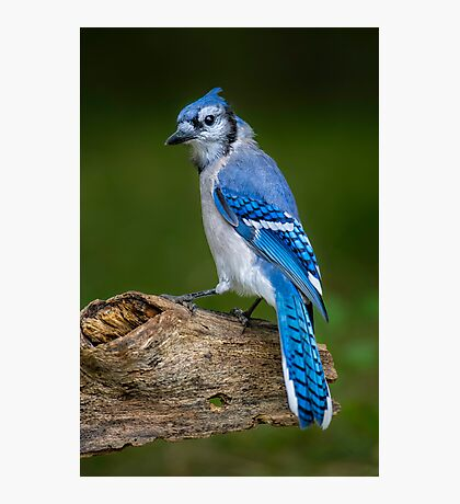 Stumped Blue Jay Photographic Print