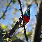 Greater Double-collared Sunbird by Ann  Palframan