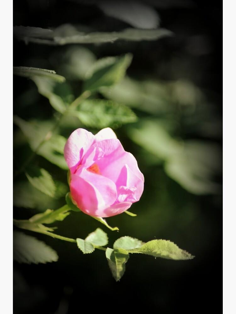 Old fashioned pink rose, near Trojan pond, Oregon 2 by DlmtleArt