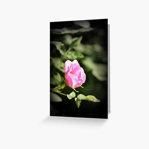 Old fashioned pink rose, near Trojan pond, Oregon 2 Greeting Card