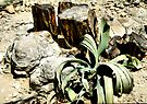 Welwitschia Plant in the Petrified Forest by Carole-Anne