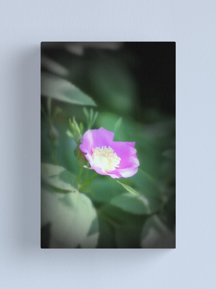 Alternate view of Old fashioned pink rose, near Trojan pond, Oregon Canvas Print