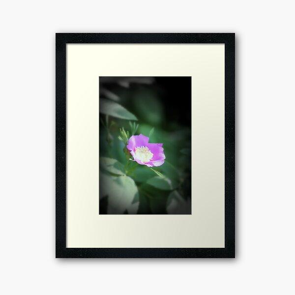 Old fashioned pink rose, near Trojan pond, Oregon Framed Art Print
