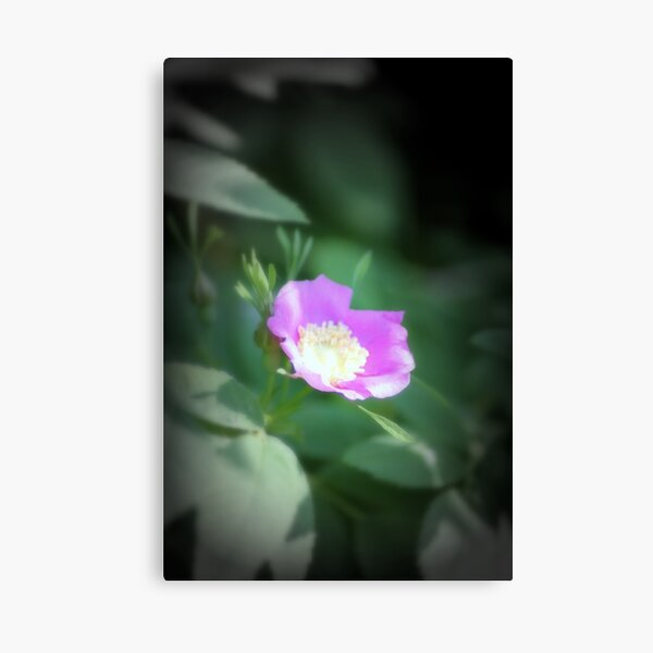 Old fashioned pink rose, near Trojan pond, Oregon Canvas Print