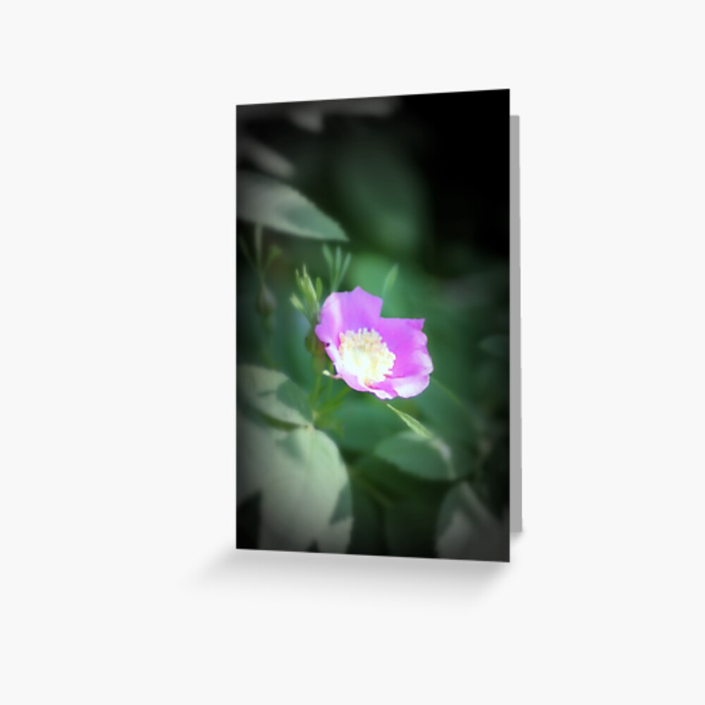 Old fashioned pink rose, near Trojan pond, Oregon Greeting Card