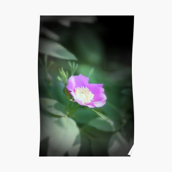 Old fashioned pink rose, near Trojan pond, Oregon Poster