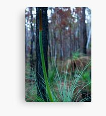 Grass Tree (Xanthorrhoea) Canvas Print