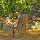 White-Tailed Deer Portrait #1. Lake Kissimmee S.P. by chris kusik