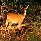 White-Tailed Deer Portrait #2. Lake Kissimmee S.P. by chris kusik