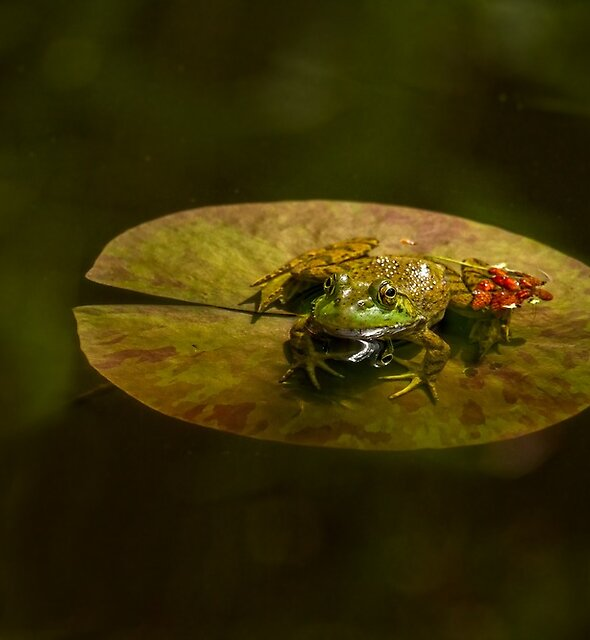 ON A LILLY PAD by Sandy Hill