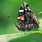 Red Admiral  by EkaterinaLa