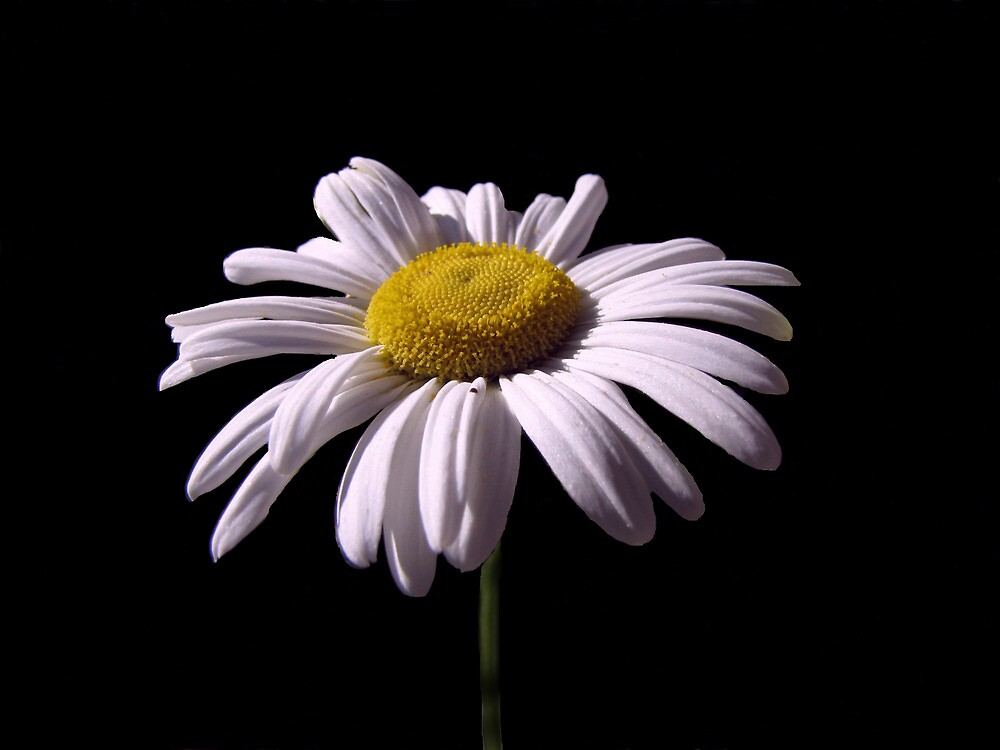 Daisy Mum by David Dehner