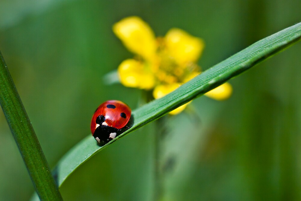 Ladybird on grass by Vicki Field