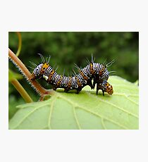 The Hungry Little Caterpillar  Photographic Print