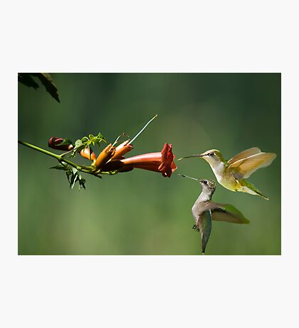 Trumpet Vine and Hummers Photographic Print